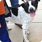 Adopt A Pet :: Chaz