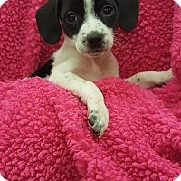 Adopt A Pet :: AF1 (Female) - Orland Park, IL