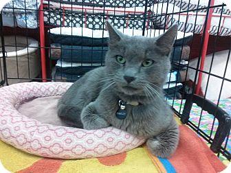 Domestic Shorthair Cat for adoption in Alamo, California - Bradley