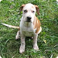 Adopt A Pet :: Stevie - Minneapolis, MN