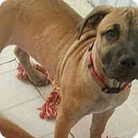 American Staffordshire Terrier Mix Puppy for adoption in Pottsville, Pennsylvania - Cookie