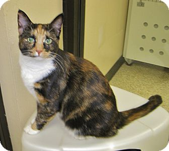 Calico Cat for adoption in Georgetown, Texas - Gypsy