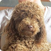 Adopt A Pet :: Harry Potter - Westport, CT