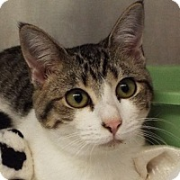 Domestic Shorthair Cat for adoption in Grants Pass, Oregon - Tulip