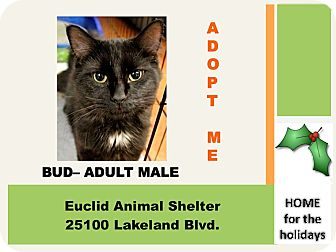 Domestic Longhair Cat for adoption in Euclid, Ohio - Bud
