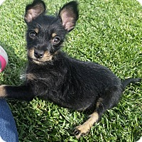 Chihuahua/Terrier (Unknown Type, Small) Mix Puppy for adoption in Victorville, California - Trixie-Adopt me !