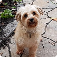 Maltese/Yorkie, Yorkshire Terrier Mix Dog for adoption in Toronto, Ontario - Peyton 3401
