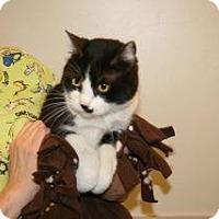 Domestic Mediumhair Cat for adoption in Wildomar, California - Dixie