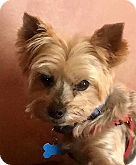 Yorkie, Yorkshire Terrier Dog for adoption in Sinking Spring, Pennsylvania - Mikky Doodle