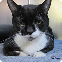 Domestic Shorthair Cat for adoption in Jackson, New Jersey - Kiera