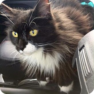 Domestic Longhair Cat for adoption in Austin, Texas - Elvis