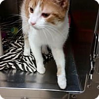 Domestic Shorthair Cat for adoption in Chippewa Falls, Wisconsin - Eliza