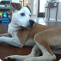 Adopt A Pet :: Petey - Houston, TX