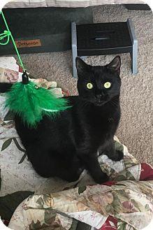 Domestic Shorthair Kitten for adoption in Alpharetta, Georgia - Ruggles