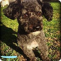 Adopt A Pet :: TROY - Phoenix, AZ