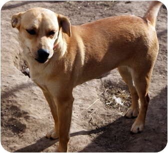 Rhodesian Ridgeback Mix Dog for adoption in Glenpool, Oklahoma - Lightening