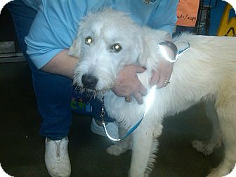 Labradoodle/Great Pyrenees Mix Puppy for adoption in Avon, Ohio - BUMBLE
