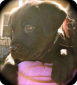 Labrador Retriever/Spaniel (Unknown Type) Mix Puppy for adoption in MINNETONKA, Minnesota - ABIGAIL