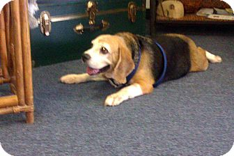 Beagle Dog for adoption in Coral Springs, Florida - Toby