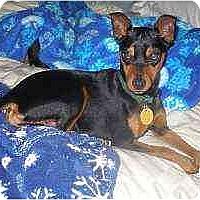 Adopt A Pet :: Ray Charles - Florissant, MO