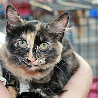 Calico Cat for adoption in Redlands, California - Layla
