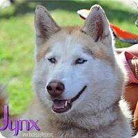 Adopt A Pet :: Jynx - Carrollton, TX
