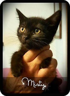 Domestic Shorthair Cat for adoption in Hartford City, Indiana - Misty