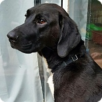 Adopt A Pet :: Benny - Arlington, VA