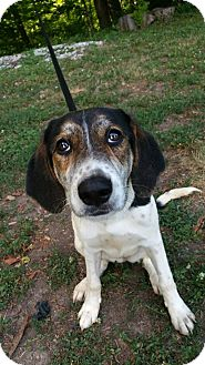 Beagle/Hound (Unknown Type) Mix Dog for adoption in Marion, Indiana - firecraker