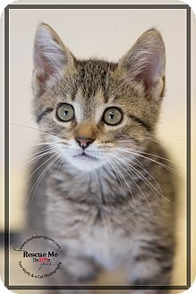 Domestic Mediumhair Kitten for adoption in Washburn, Wisconsin - Teddy Bear