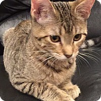 Domestic Shorthair Kitten for adoption in Naperville, Illinois - Louise-6 MONTHS - NOW $125