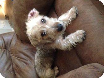 Standard Schnauzer/Terrier (Unknown Type, Medium) Mix Dog for adoption in Spring, Texas - Beni