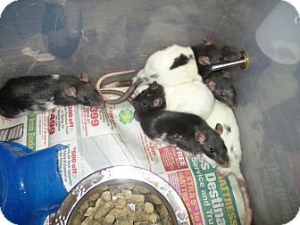 Rat for adoption in Philadelphia, Pennsylvania - OC Group ( BOYS)
