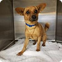 Chihuahua Mix Dog for adoption in Albemarle, North Carolina - Buddy