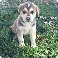 Adopt A Pet :: Apple Jacks - Red Bluff, CA