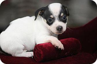 Chihuahua Puppy for adoption in Phoenix, Arizona - JAY-Z