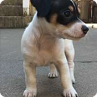 Rat Terrier/Chihuahua Mix Puppy for adoption in Lodi, California - Prince