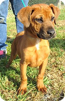 Labrador Retriever/Hound (Unknown Type) Mix Puppy for adoption in Reeds Spring, Missouri - Christian