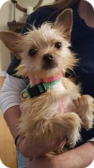 Yorkie, Yorkshire Terrier Mix Dog for adoption in Fort Atkinson, Wisconsin - Lily