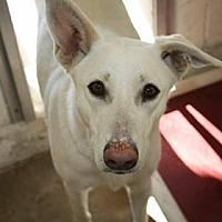 Adopt A Pet :: ANATOLIAN MOMMA X - Littleton, CO