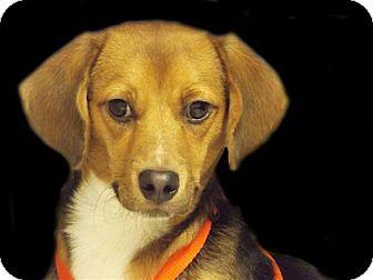 Beagle Mix Dog for adoption in Osage Beach, Missouri - Snoopy
