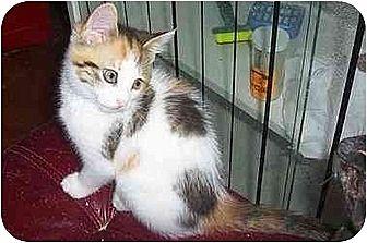 Calico Cat for adoption in Nepean, Ontario - SASSY