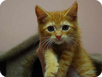 Domestic Shorthair Kitten for adoption in Lunenburg, Massachusetts - Teapot #3