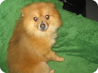 Pomeranian Mix Dog for adoption in Prole, Iowa - Clinton