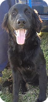 Labradoodle Mix Dog for adoption in Manchester, Connecticut - Coco cola ADOPTION PENDING