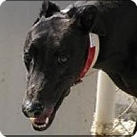 Adopt A Pet :: Harvick - St Petersburg, FL