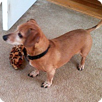 Adopt A Pet :: Little Man - Decatur, GA