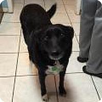 Adopt A Pet :: Cynda - Plainfield, IL