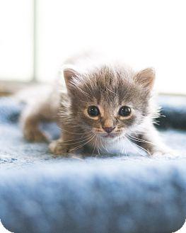 Domestic Mediumhair Kitten for adoption in Houston, Texas - Gracie
