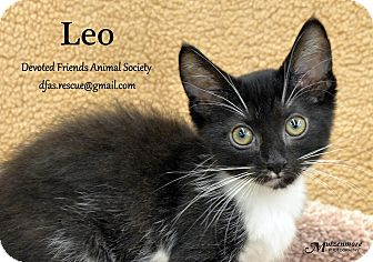 Domestic Mediumhair Kitten for adoption in Ortonville, Michigan - Leo